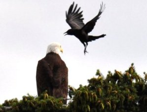 crow harassing eagle