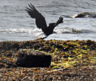 eagle on beach