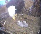 young eaglets